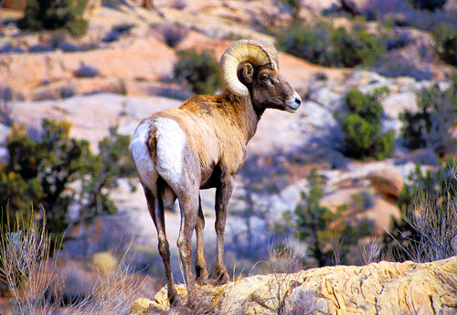 Bighorn Sheep in Arches National Park NPS picture by Neal Herbert