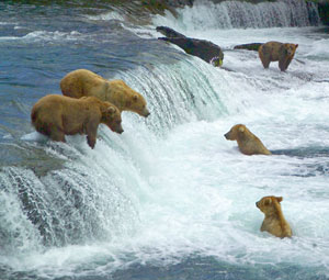 Bears at Brooks River Falls Katmai National Park Picture by Peter Hamel NPS