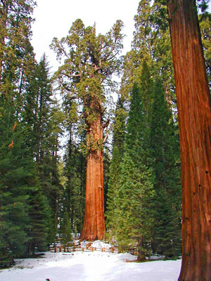 General Sherman Tree, the world's largest living tree, Sequoia National Park Picture by Alexandra Picavet NPS